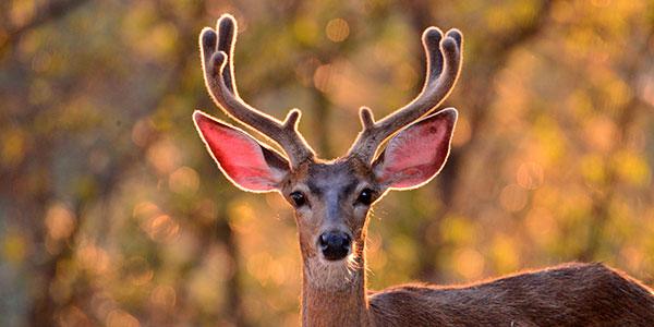 Deer FlashLoan Protocol showcase